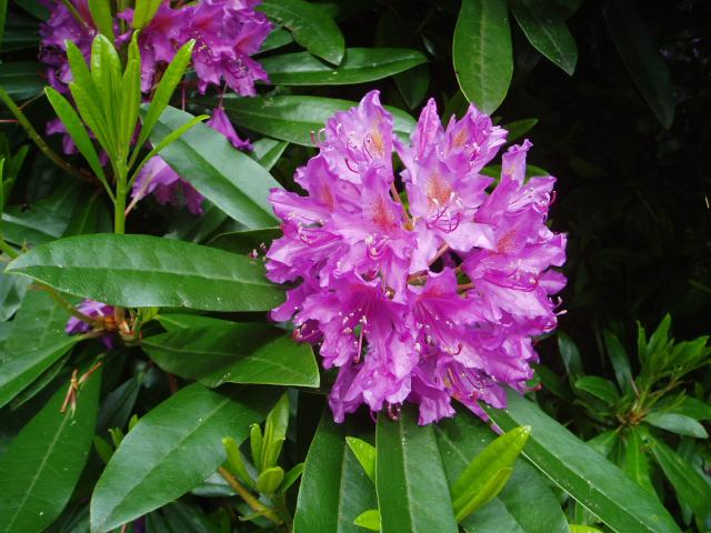 Rhododendron-by-eiffel-public-domain-20040617