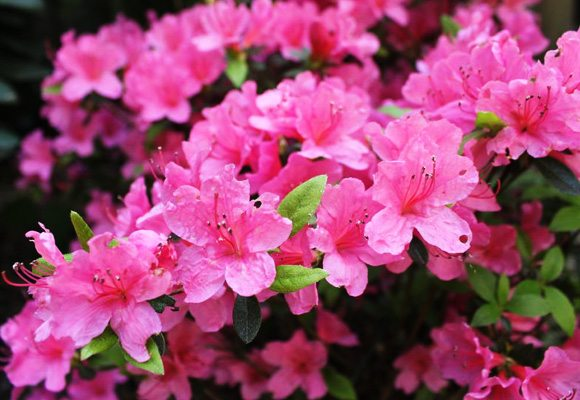 care-for-azalea-house-plant