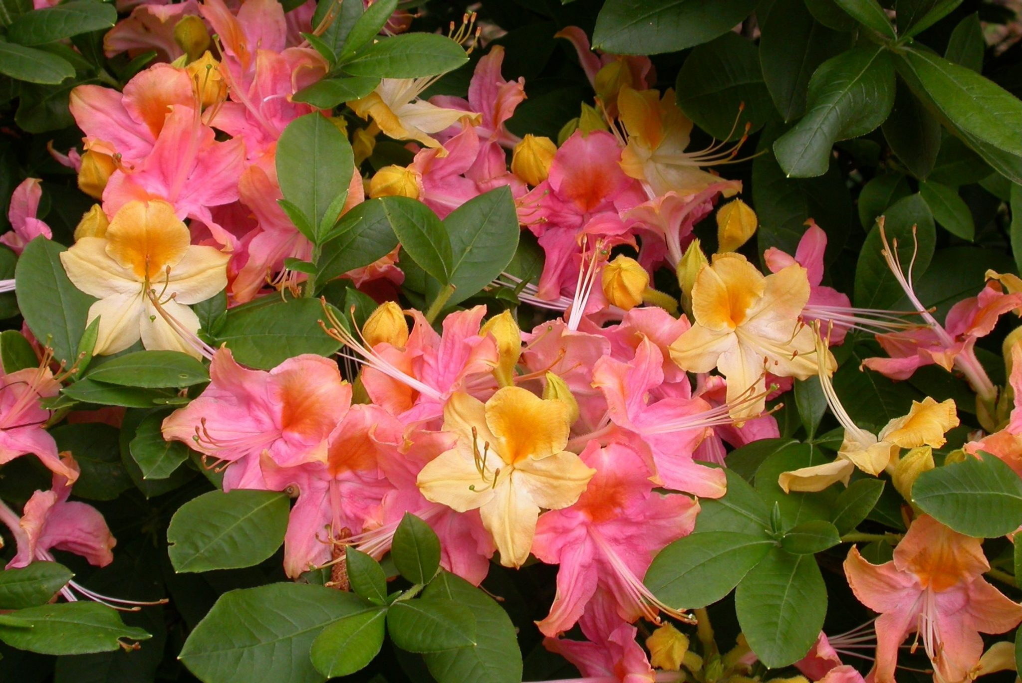 rhododendron_rainbow_j