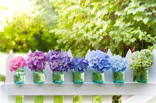 Multi-colored Hydrangea macrophylla blooms in vintage canning jars on picket fence