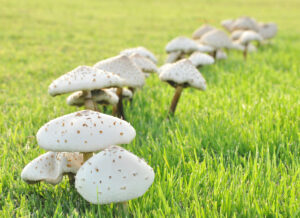 White mushrooms growth in green lawn field
