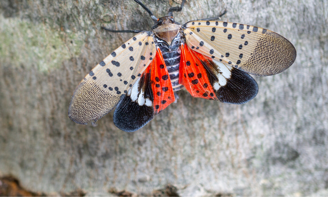 Controlling the Spotted Lanternfly Population